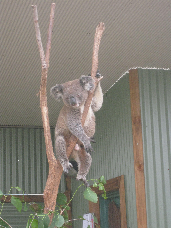 Koara in Sydney, March 2010